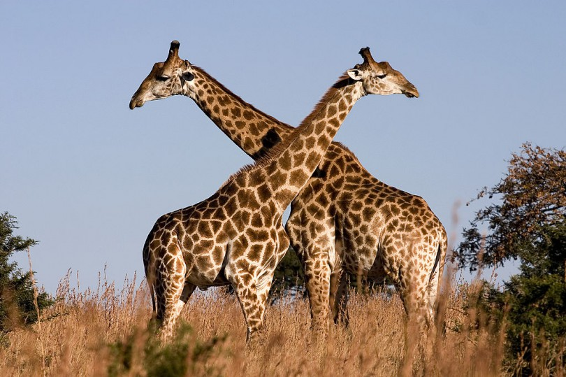 Giraffe Luca Galuzzi 2004