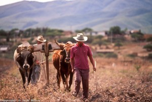 OAXACA, MEXICO: Farmers use oxen to plow their fields near Oaxaca, Mexico, Dec. 1, 1991.